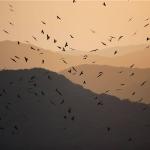 滿州里德灰面鵟鷹群飛