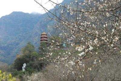 天祥梅園開花