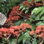 黑點大白斑蝶和火筒樹