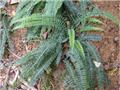 攀緣陵齒蕨