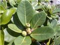 鵝鑾鼻蔓榕