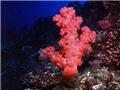 棘穗軟珊瑚