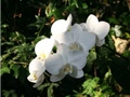 自幽林中消失的白色蝶群-台灣蝴蝶蘭