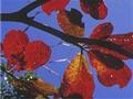 欖仁巨傘撐藍天,紅葉飄零話冬意