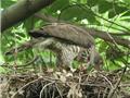雪霸國家公園山區猛禽深度觀察-覓食與繁殖習性(上)