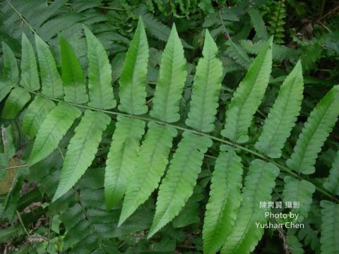 長穗玉鳳蘭