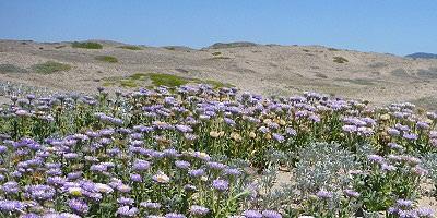 雷斯岬國家海岸之海岸沙丘回復作業