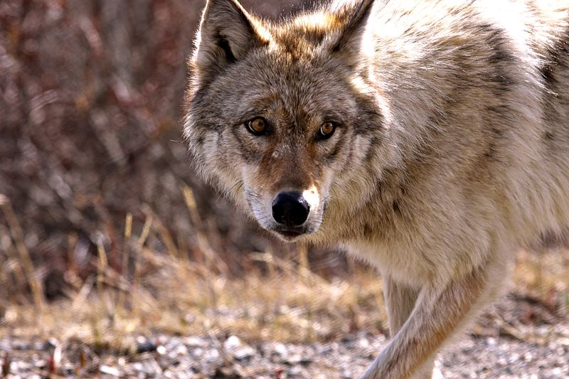 阿拉斯加迪納利國家公園將再度開放獵狼區域