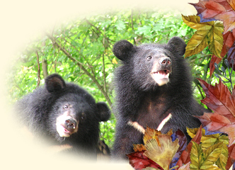 山林間的獨行俠─台灣黑熊