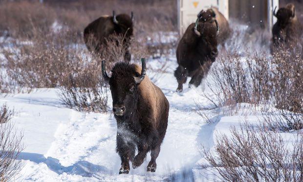 睽違超過百年,加拿大班夫國家公園復育美洲野牛
