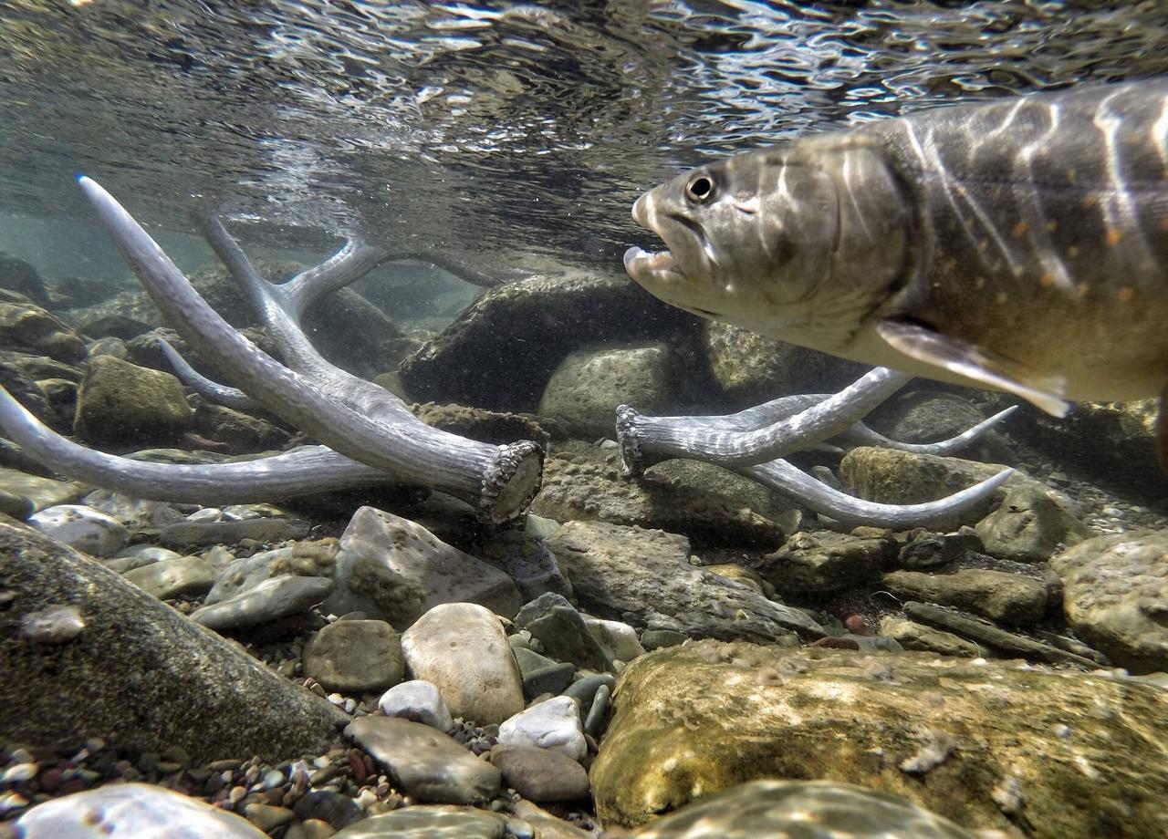 因應外來種和氣候變遷雙重威脅,冰川國家公園展開公牛斑鮭保育戰