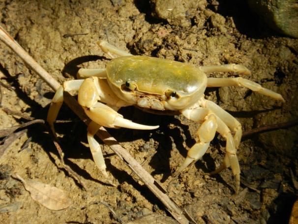 馬卡道澤蟹