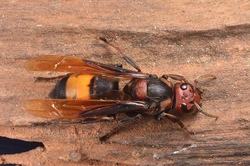 熱帶虎頭蜂