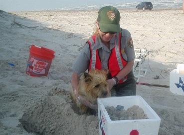 狗狗雷利幫助國家公園保育員在海岸線尋找肯式龜巢穴(圖片來源:NPS)
