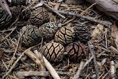 火苗燒開毬果有助其種子散落在豐潤苗床上 (圖片來源: 取自Flickr 攝影師Ming-yen Hsu)