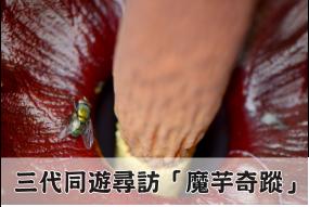 臭名遠播的台灣魔芋吸引蒼蠅傳粉