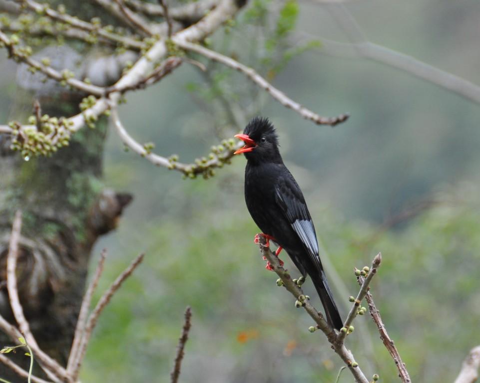 紅嘴黑鵯 (太魯閣國家公園管理處提供)