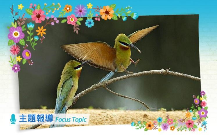 主題報導 主圖:栗喉蜂虎近照(金門國家公園管理處提供)
