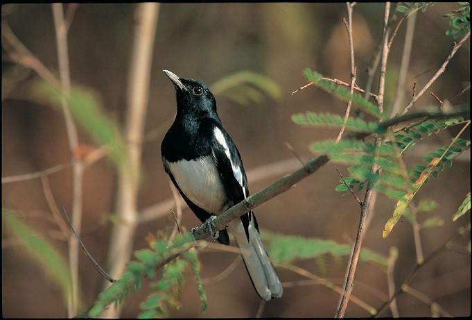 鵲鴝 (金門國家公園管理處提供)
