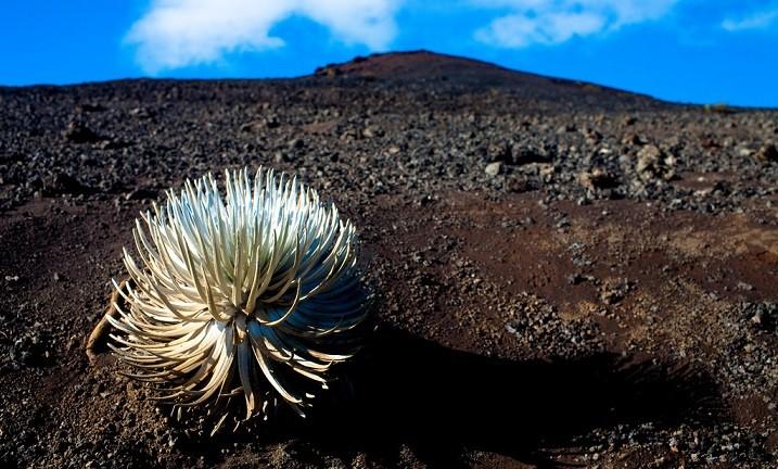美國夏威夷群島的哈雷阿卡拉國家公園擁有最多種類的珍奇動植物,本圖為生長於2,200度高溫火山口的銀箭草(圖片取自 Flickr 攝影師Esther Lee)