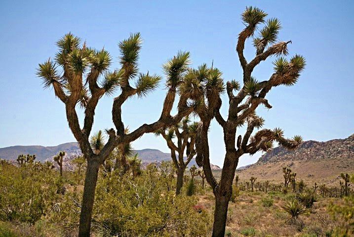 正在消失的約書亞樹--最新美國國家公園總體檢報告出爐,它們能挺過氣候變遷的肆虐嗎?