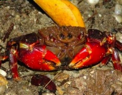 霍氏新脹蟹