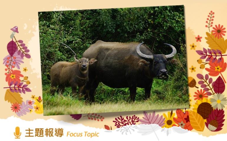 目前擎天崗草原上留存的是自然繁衍的無主野化水牛(陽明山國家公園管理處提供)