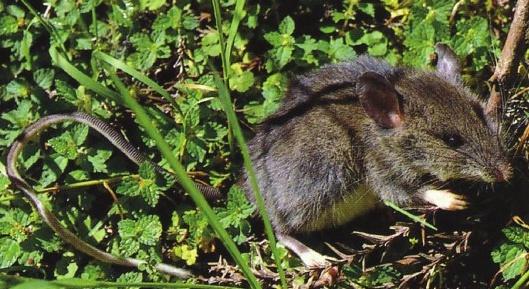 高山白腹鼠(雪霸國家公園管理處提供)