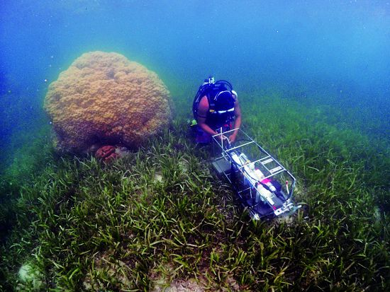Cauliflower corals on the seagrass bed are a major feature in the Dongsha atoll lagoon. / Yan-Hsun Hwang
