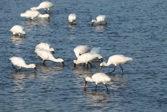 Black-faced Spoonbill normally choose to forage in waters at depths less than 20 cm, where they move their beaks left and right to search food. / Provided by Taijiang National Park Headquarters (photo by Si- Lian Fang)