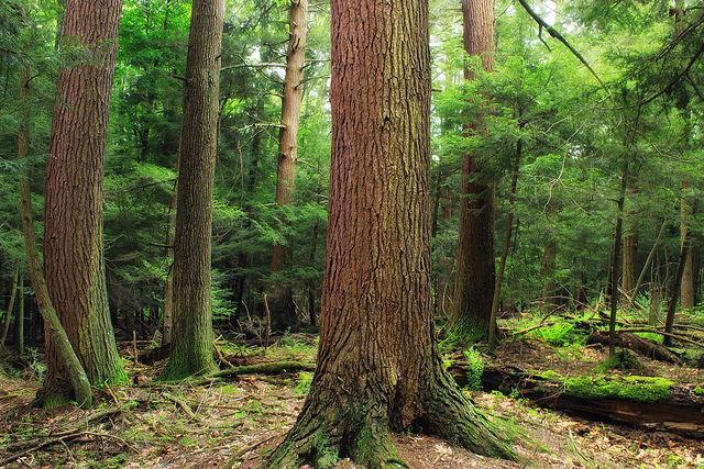 小兵立大功-小小甲蟲能拯救仙那度國家公園的巨大鐵杉嗎?