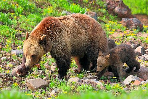 黃石國家公園內的灰熊。(取自flickr,攝影I-Ting Chiang)