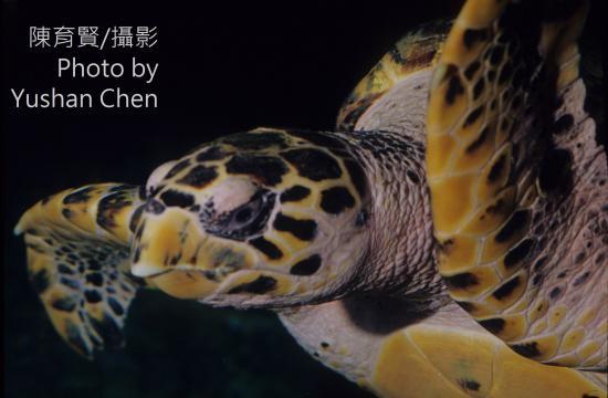 鷹嘴海龜(圖片來源:臺灣生命大百科,陳育賢攝)。