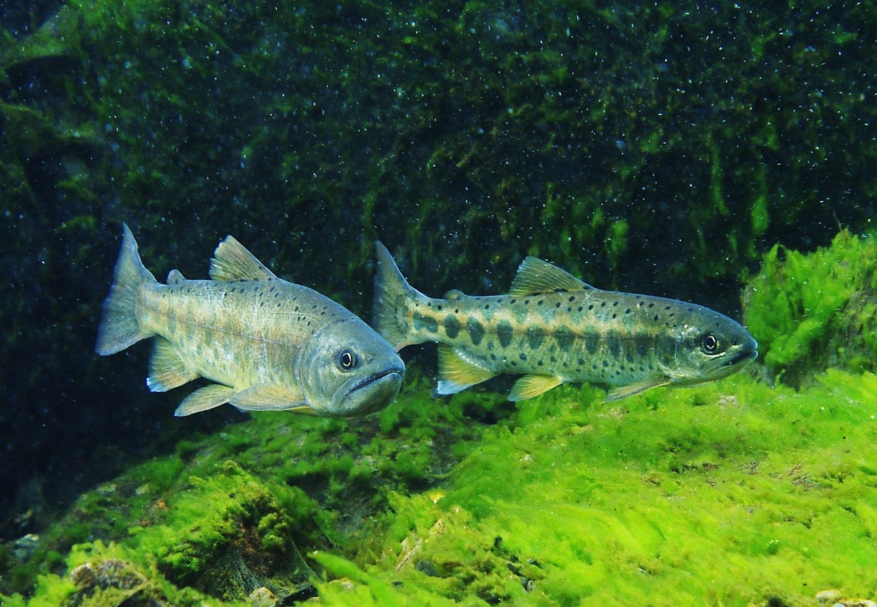 臺灣櫻花鉤吻鮭的消失與重生-雪霸處25年鮭魚保育歷程展
