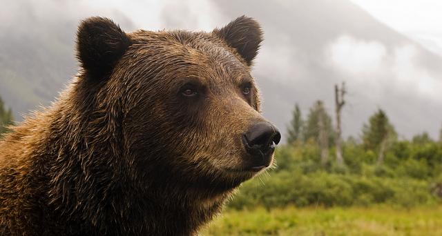 「灰熊不可忍」: 阿拉斯加州政府欲減低獵熊條例效力