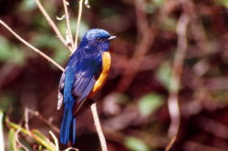 Male Rufous-bellied Blue Flycatcher ( by Liao Dong-kun )