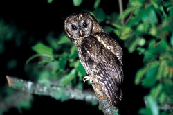 Tawny Wood Owl ( by Chen Jia-sheng )