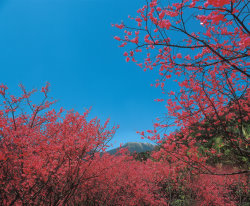 Blossoming Taiwan Cherry