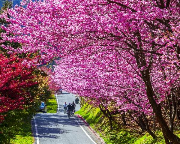 The Road of Cherry Blossoms